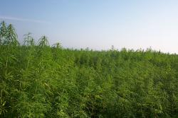 Industrial hemp: Fields of green, etc, etc. Don't be tedious.