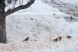 Robins in January, 2010: Somewhere in Burnsville, MN., dozens of robins are eating fermented apples. Perhaps they think the anti-freeze property will help. Early spring?