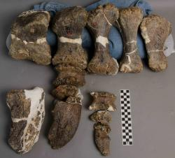 Dino foot: These fossilized bones make up the foot of a large dinosaur.