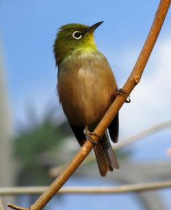 Japanese White-eye: Snails have been shown to survive the trip through the bird's digestive tract.