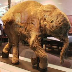 Frozen baby mammoth: This image shows a frozen baby mammoth, on display at the Field Museum in Chicago, found several years ago by the same research team.