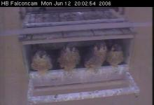 2006 peregrine chicks: Looks like they're all washed up and waiting for dinner. (The photo was taken by the High Bridge web cam yesterday evening, before our little wanderer went exploring...)