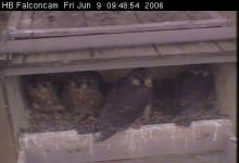 Peregrine chicks: Photo taken by the High Bridge web cam between 8 and 9 am, Friday, June 9.