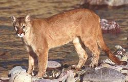 Long-distance cat: A mountain lion (not this one) made a 1,500-mile migration from the Black Hills to Connecticut before being killed when hit by a car