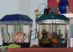A fish by any other name would love to call either of these tanks home!: Who wouldn't want to live in one of these wonderlands!  Bonnie, Clyde, and Oran have never complained to me about their accommodations...