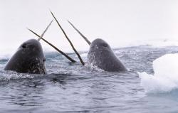 Tusk, tusk: A pair of narwhals surface in the Arctic waters. A new study says that the sea creatures are the most at risk to changes from global warming