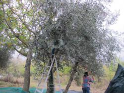 Raking olives