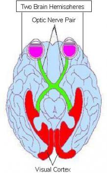 Relation of the eyes to the optic nerve: Here you can see how closely connected the retinas (the back of the purple blobs) are to the optic nerve, and to the brain.