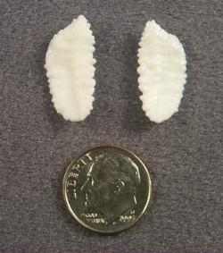 Otoliths are from fish ears