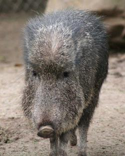A non-giant Peccary: Photo courtesy of deadeyebart a.k.a. Brett on flickr.com.