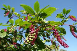 Pokeberries ripening: Pokeberries may provide a key to cheap solar energy.