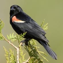 Male Red Winged Blackbird: Red-winged Blackbird, male, Bluffer's Park (Toronto, Canada), 2005.  Image courtesy Mdf.
