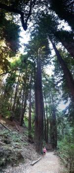 Tall order: Scientists are cloning giant redwood trees from California in an effort to reforest lost trees and combat climate change.