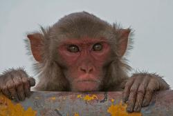 Don't beat me up....I've paid my taxes: Rhesus monkeys have a culture that encourages the sharing of food – a redistribution of wealth – that penalizes those who don't contribute to the good of all monkeys.