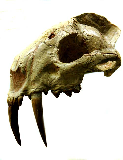 Saber tooth cat skull found in Minnesota | Science Buzz