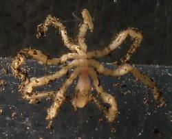 A sea spider. Deal with it.: And this one's not even giant.