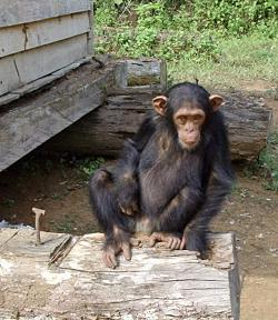 The Chimpanzee: A nightmare creature.