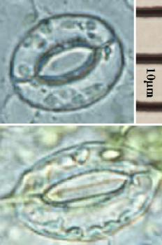 Stomata: These stomata are from an Arabidopsis plant. The top one is open, and the lower one is closed.