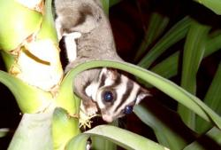 Kicked out of St. Paul: The sugar glider -- a small marsupial version of a flying squirrel, has gotten the boot from the St. Paul City Council, which doesn't want the creatures to be kept as pets in the city any longer.