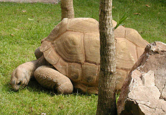 aldabra giant tortoise science buzz