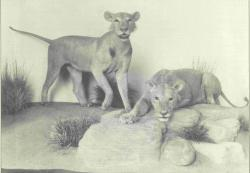Tsavo Maneaters: Even scary in black and white.