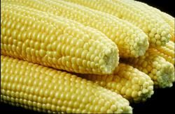 Super Corn!: Resistant to bugs AND delicious!