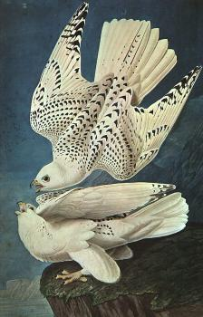 White Gerfalcons: plate from BIRDS OF AMERICA