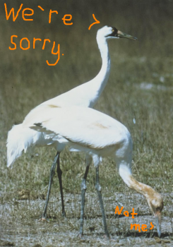 Whooping cranes: Can't live with 'em, can't live without 'em.