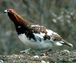 The Willow Ptarmigan Award in its natural habitat: The original W.P.A.o.M. was given to Anchorage native Troy Smoltz for taping a clock radio to his forehead. The award was then taken back after Smoltz took a bath while wearing his new invention.