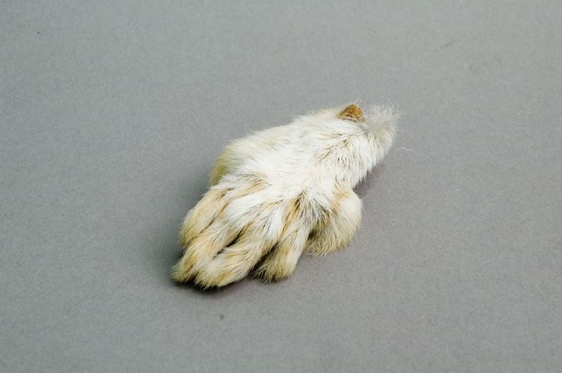 Snowshoe Hare Foot