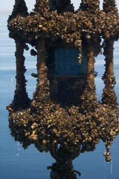 Numbered days?: Zebra mussels totally cover a piece of underwater equipment from Lake Michigan.
