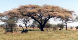 Help me you ants: A new study shows that acacia trees in Africa need to have both the ants that protect them from predators and the predators themselves to thrive. Take away one component, and the trees themselves start to look sickly.