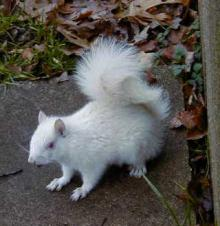 Albino or not?: Is this an ablino squirrel or just a white variety of a regular squirrel. Check out the eyes to find out.