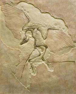 Archaeopteryx impression: This cast shows how Archaeopteryx impressions are often found in geological formations. This cast comes from a find in Germany.