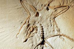 Archaeopteryx: Detail of the Thermopolis Specimen