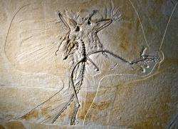 Archaeopteryx (Thermopolis specimen): Has the iconic transitional fossil had its feathers ruffled by a recent discovery? Not really.