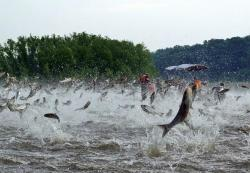 "Asian carp jumping: Asian carp not only take over river ecosystems, but can furiously ""fly"" out of the water."