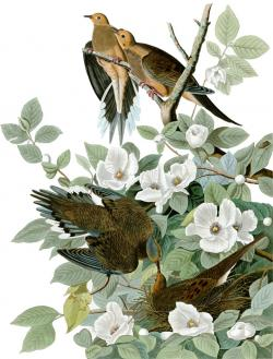Mourning doves: from BIRDS OF AMERICA