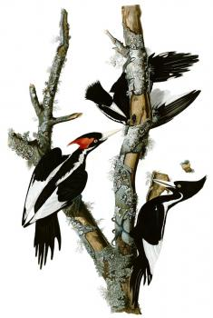 Ivory-billed Woodpecker: plate from BIRDS OF AMERICA