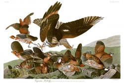Virginian Partridge: plate from BIRDS OF AMERICA