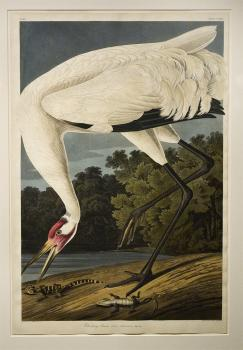 Audubon's Whooping Crane: plate no. 226 from the artist's masterpiece Birds of America.