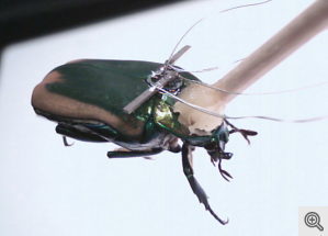 Cyborg Beetle: Through a device invented at the University of Michigan, an insect's wing movements can potentially generate enough electricity to power small devices such as a camera, microphone, or gas sensor.