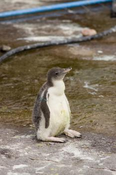 A baby penguin: Enjoy it while it lasts.