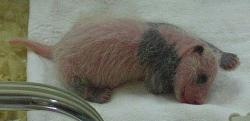 Panda baby: The newly born panda at the National Zoo looks much like this baby panda born years ago.