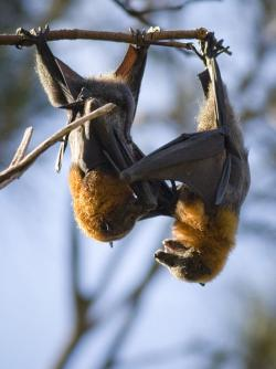 "A couple of ""very large"" bats: And do you know what they're thinking about? They're thinking about watching you when you're asleep, and maybe climbing into your hair."