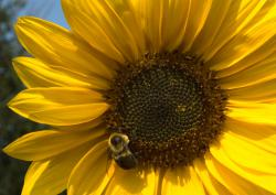 The sunflower and the bee: just the kind of photograph Project Noah likes to see.