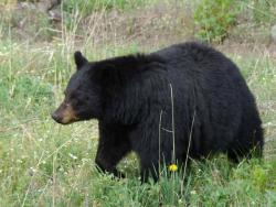 Get my good side: Bears are showing up much more frequently than expected in a wildlife photo project being conducted along the Appalachian Trail.