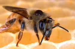 Sting of comfort: Do honey bees hold the magic medicine to ease the aches of multiple schlerosis? Some MS patients swear by the positive effects BVT (bee venom therapy) have on improving the quality of their lives. (Photo from the U.S. Department of Agriculture)