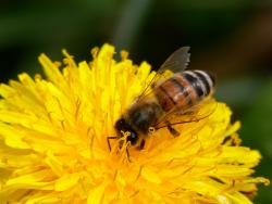 Bye, bye bees?: The mysterious disappearance of large portions of honey bee populations in 22 states have scientists trying to figure out where they're going. (Photo courtesy BugMan50)