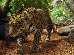Alien, immigrant, visitor...: Whatever you want to call them, jaguars are not native to the US.